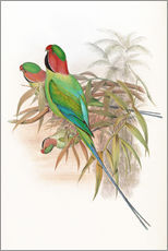 Wandsticker  Palaeornis Malaccensis - John Gould