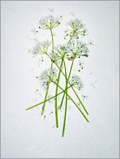 Wandsticker  Allium ursinum, Heilkraut - Axel Killian