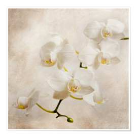 Poster  weiße Orchidee - Hannes Cmarits