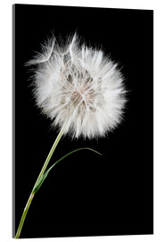 Acrylglasbild  the big white dandelion