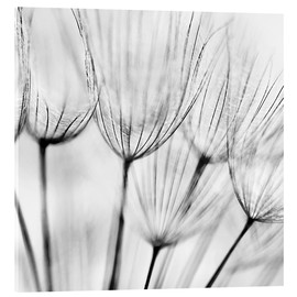 Acrylglasbild  black and white dandelion