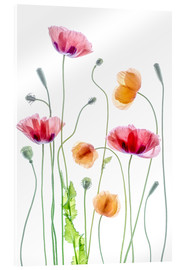 Acrylglasbild  Poppy Tanz - Mandy Disher