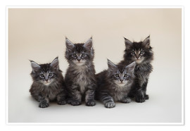Premium-Poster Maine Coon Kittens 2